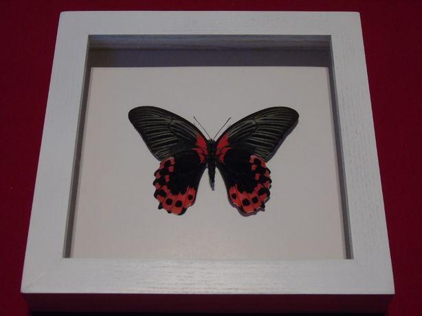 Motyl w ramce 22x22cm . Papilio rumanzovia 120mm .