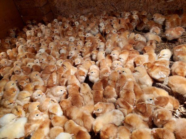 Wyprzedaż kurki Rossa kurczaki nioski okazja do końca dnia