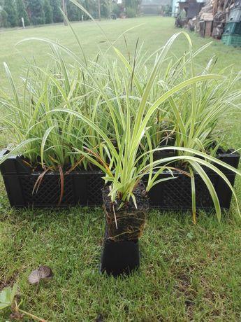 Byliny Carex