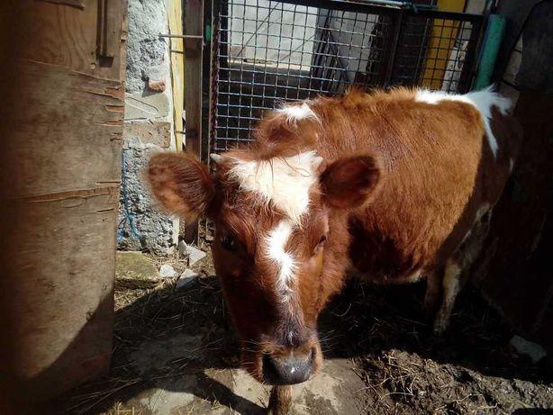Продам тёлочек на корову