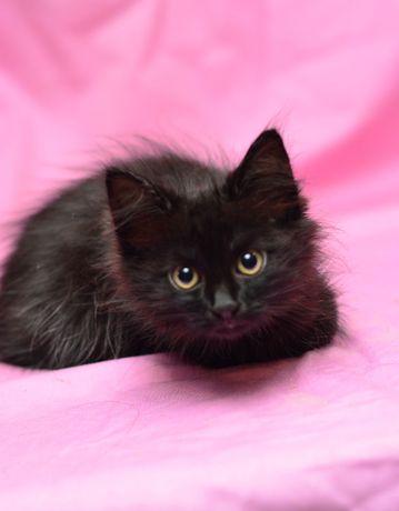 Пушистый черный котенок с белой шейкой Семик, кот 2 мес.