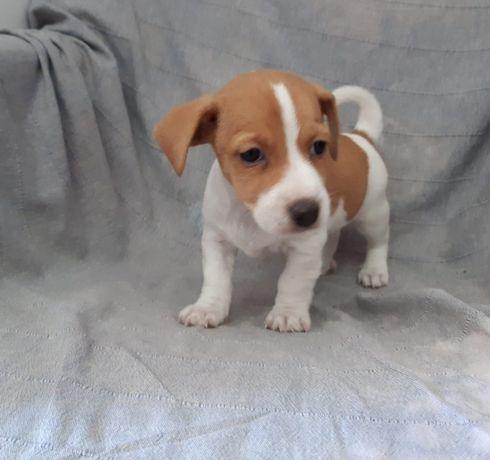 Fantástico Macho Jack Russell Terrier com LOP