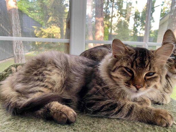 полупородный Сибирский кот Бантик ищет семью.