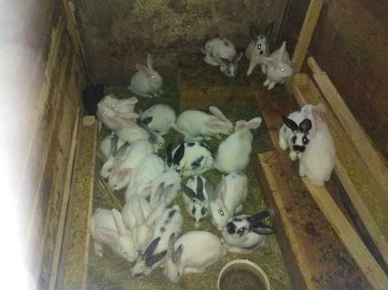 Młode króliki - sprzedam