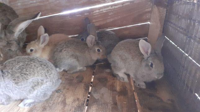 Продам Кролики Молодняк 2міс