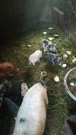 В'єтнамські свині, кнурі, свиноматки, поросята