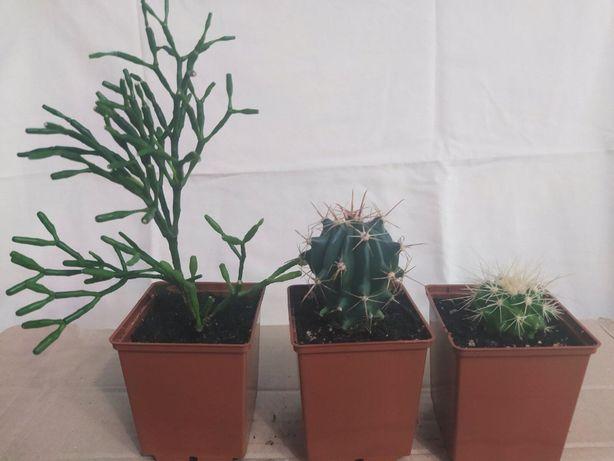 Продаю красивые кактусы