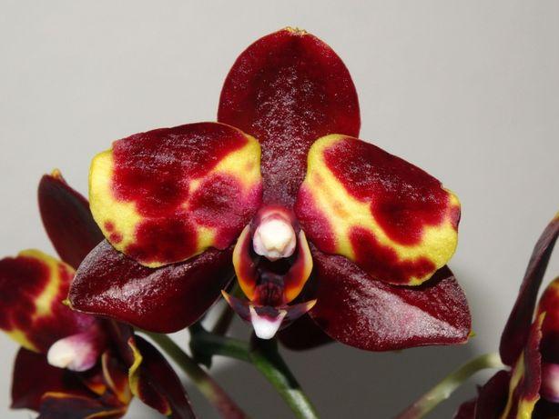 Орхидея фаленопсис Наоми Phalaenopsis Naomi
