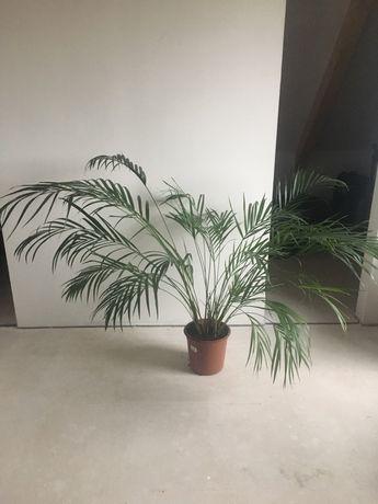 Palma Areka ok 130cm