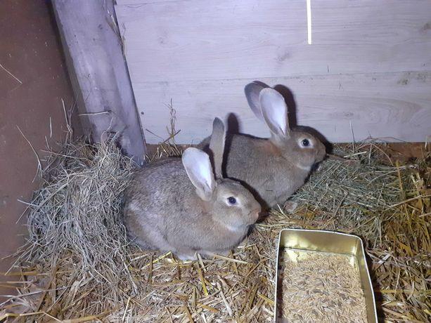 Sprzedam króliki samice kotne
