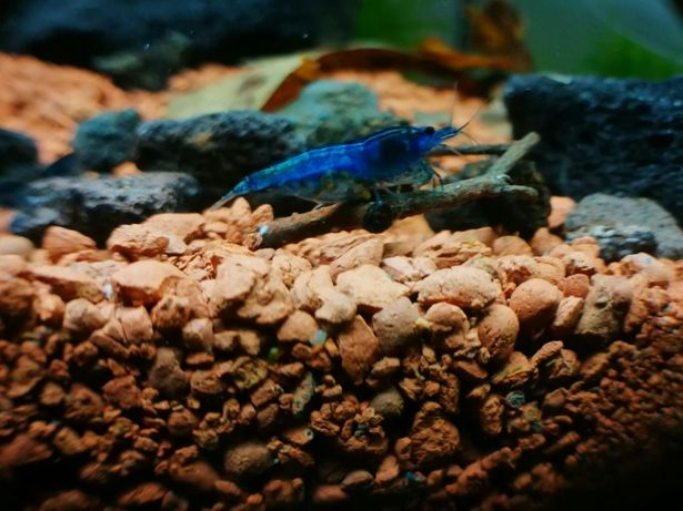 Krewetki blue velvet super kolor!Hodowlane Centrum SkorupiakówCiołka35