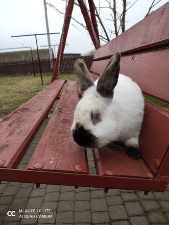Sprzedam króliki samiec kalifornijski