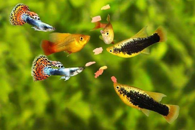 Troco todos os meus Guppys, Mollys e Platies por plantas de aquário