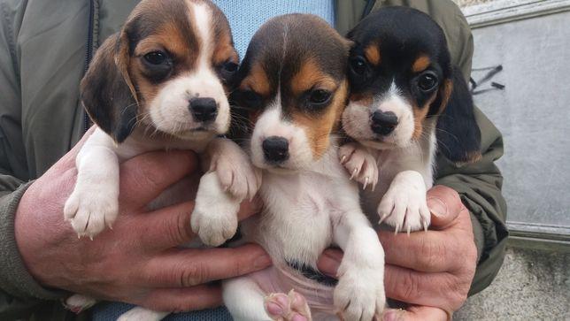 Beagle tricolor!