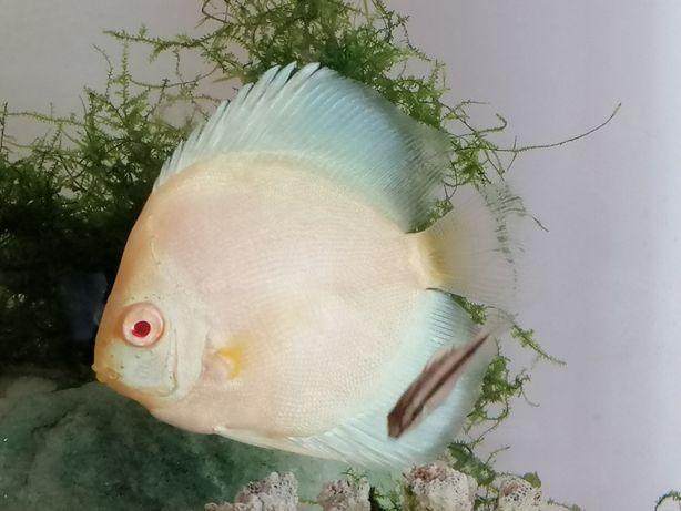 Disco albino pérola