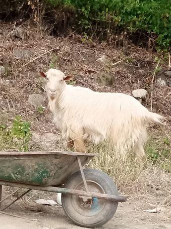 Vendo ou troco chibo por cabras