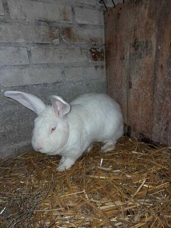 Termondzki biały samiec -samica -rasa mięsna