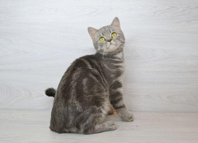 Шотландская кошечка а22, котята шотландские
