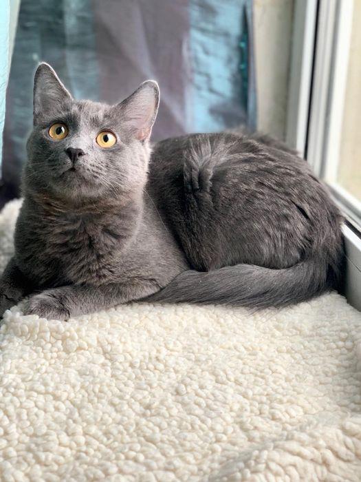 Отдам серого котёнка,метис русской голубой ,мальчик , 6 месяцев Харьков - изображение 1