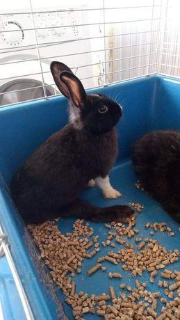 Кролик мальчик 3 месяца