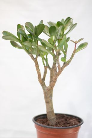 Suculenta jade para venda