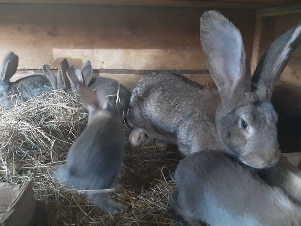 Młode króliki  belgi