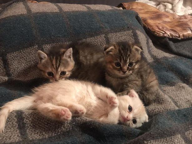 СРОЧНО !милые детки котятки скоттиш страйт , фолд
