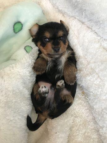 Yorkshire Terrier SUPER Mini
