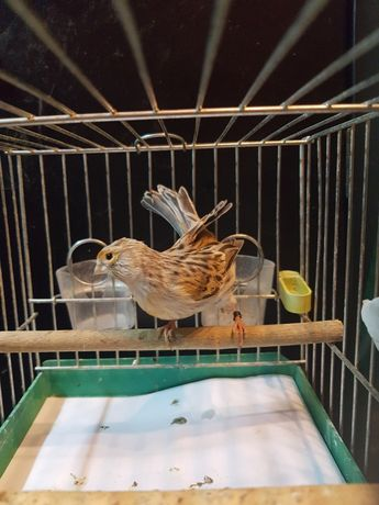 Kanarek Samiec Nr 4 Wysyłam ptaki kurierem