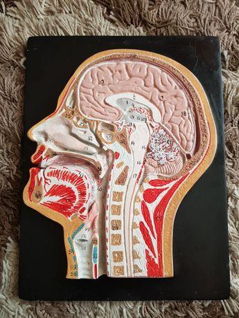 Przekrój strzałkowy głowy anatomiczny model mózgu, głowy, szyi