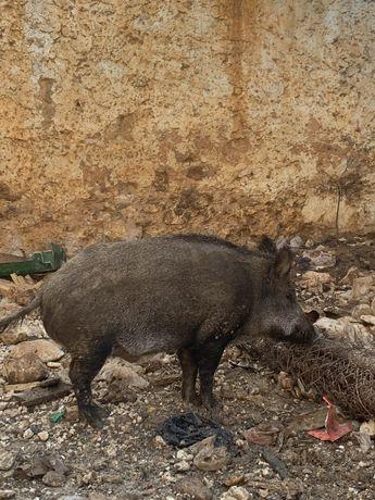 Vendo javali adulto com mais de 150 kg