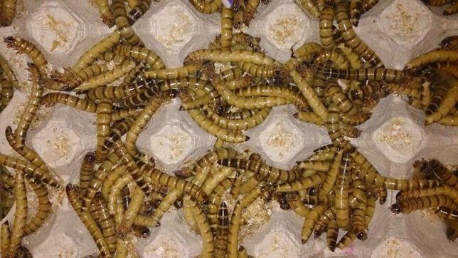 Зофобас, Зоофобус корм для насекомоядных животных.