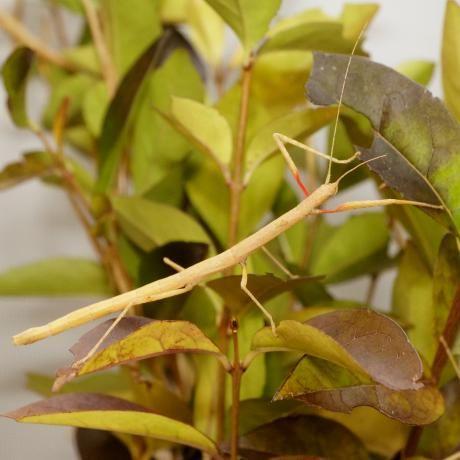 10 Ovos de Insecto pau