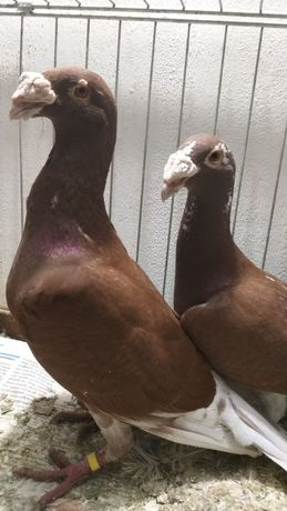 Gołębie rzeszowskie, Para