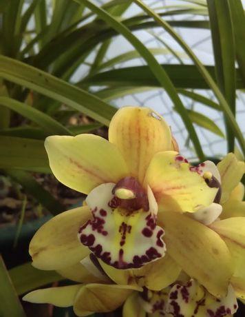 Orquidea castanha