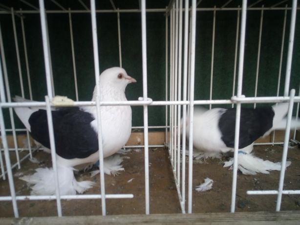 Rosyjskie tarczowe gołębie ozdobne