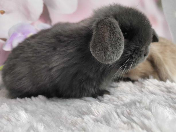 Mini lop królik króliczek hodowla zarejestrowana