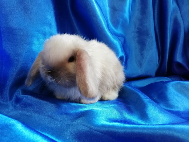 Сатин. Карликовий баранчик висловухий кролик.