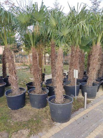 Trachycarpus Fortunei mrozoodporna palma