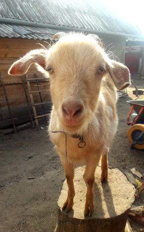 Подається коза(дуже добра)