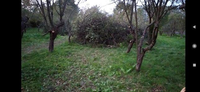 Oddam gałęzie drzew owocowych jabłoń