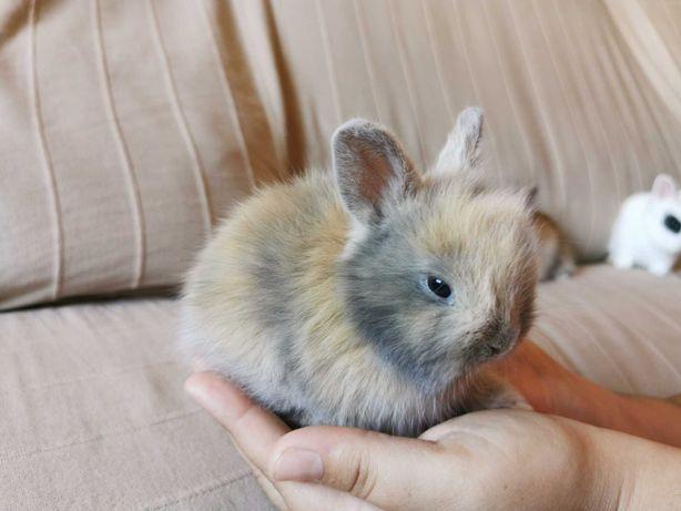 KIT completo coelhos anões mini holandês e minitoy muito dóceis