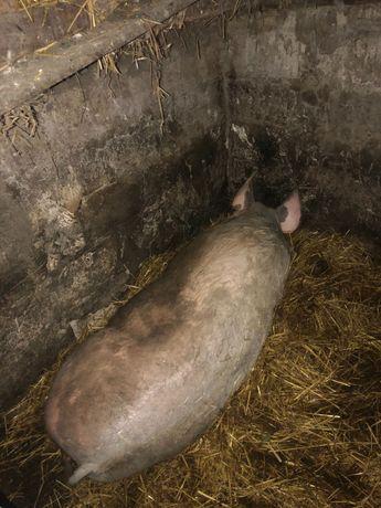 Домашня свиня на м'ясо!!!