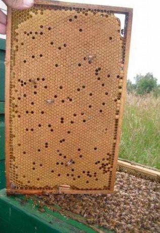 Карпатка. Молодые плодные. Продуктивные. Пчелиные матки.