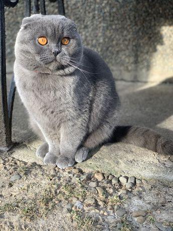 В'язка шотландського висловухого кота