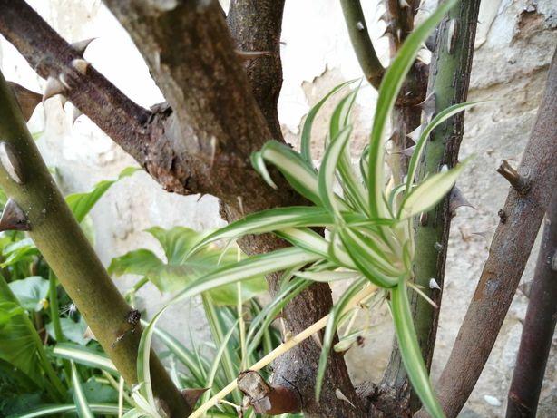 Clorofito de sombra