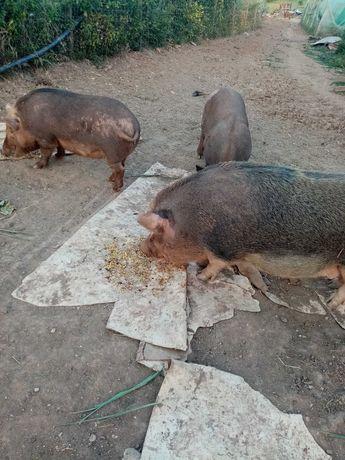 Tenho várias porcas para vender