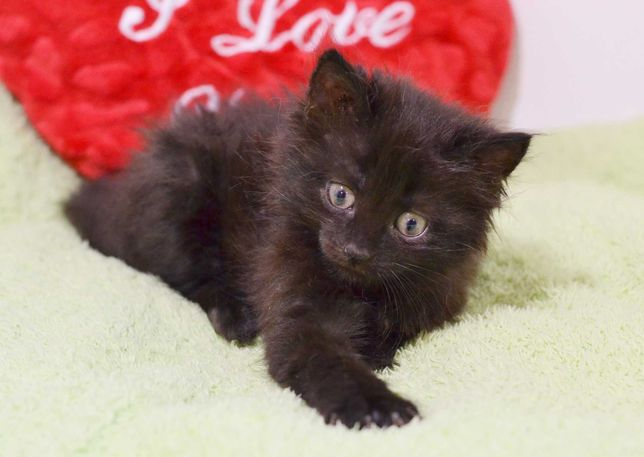 Справжнє диво – чорне кошеня Лялечка (Куколка), 2 міс. кошка/котенок