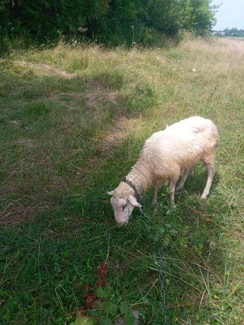 Продам вівцю недорого.