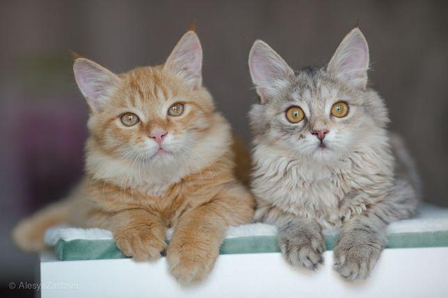 Пушистые котята, мейнкунестые, рыжий мальчик и шиншиловая девочка